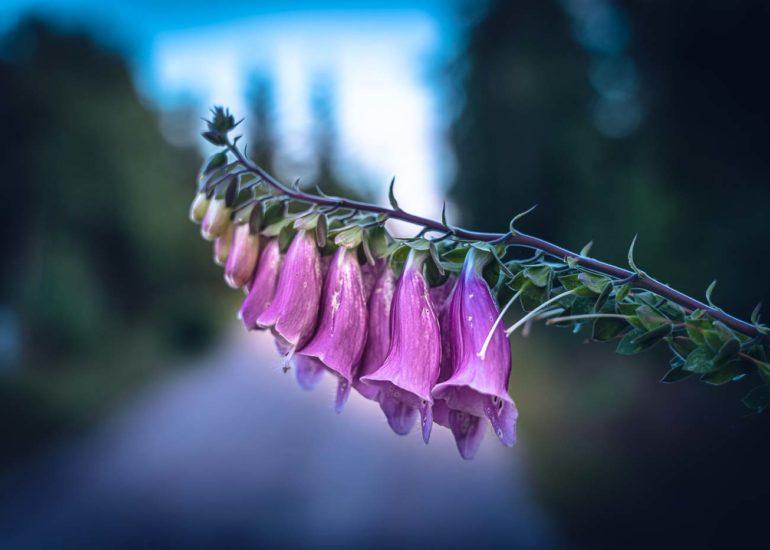 leifstroem_sweden-flower